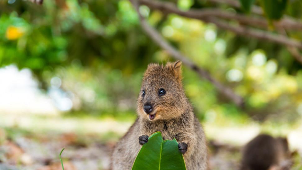 Κουόκα: Αυτό είναι το πιο χαρούμενο ζώο στον πλανήτη (φωτό+βίντεο)