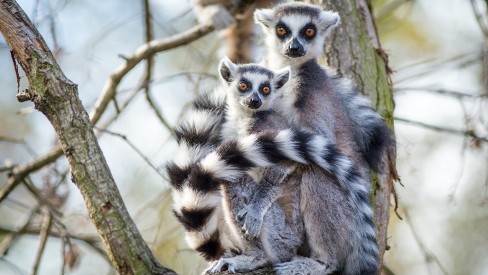 «Κρίσιμος κίνδυνος» για λεμούριους και πρωτεύοντα - Ο λόγος - Λίστα με τα απειλούμενα είδη
