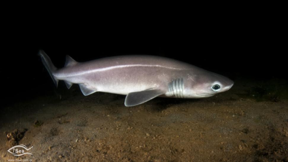 Ψάρεψαν προστατευόμενο είδος καρχαρία και όχι γαλέο στο Άγιον Όρος - Τι καταγγέλλει η iSea