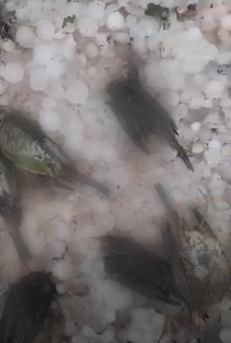 Ηράκλειο: Δεκάδες νεκρά πουλιά μετά την έντονη χαλαζόπτωση (βίντεο)