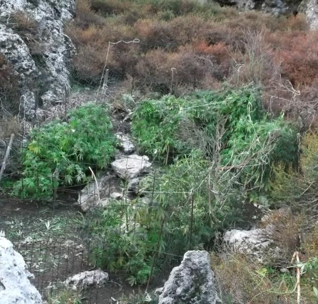 Κρήτη: Έξι κιλά χασίς κρεμασμένα σε … δέντρα – Η ανακοίνωση της ΕΛ.ΑΣ. (εικόνες)