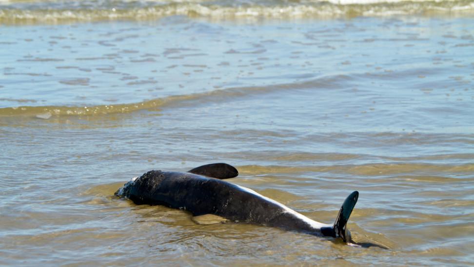 Νεκρή βρέθηκε σπάνια φώκαινα στις νότιες ακτές της Σάμου