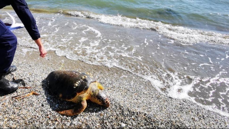 Θεσσαλονίκη: Νεκρή χελώνα καρέτα καρέτα στην Αγία Τριάδα
