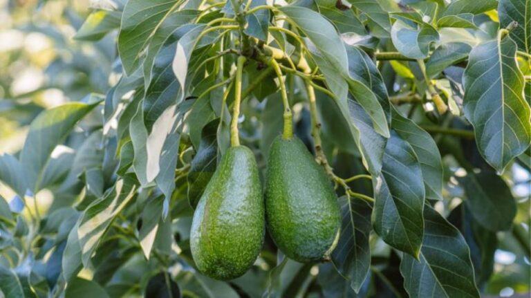 Κρήτη: Άγνωστοι «θερίζουν» φυτείες αβοκάντο – Αμοιβή σε όποιον δώσει πληροφορίες για τους δράστες
