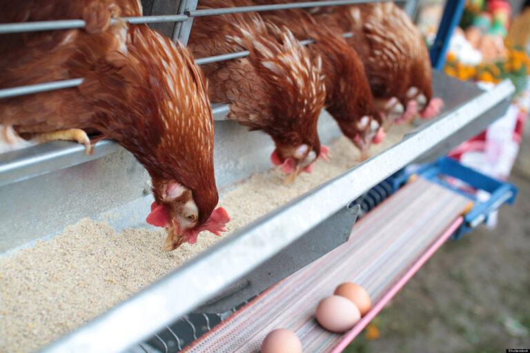 Κρήτη: Πουλούσε κοτόπουλα παράνομα και συνελήφθη