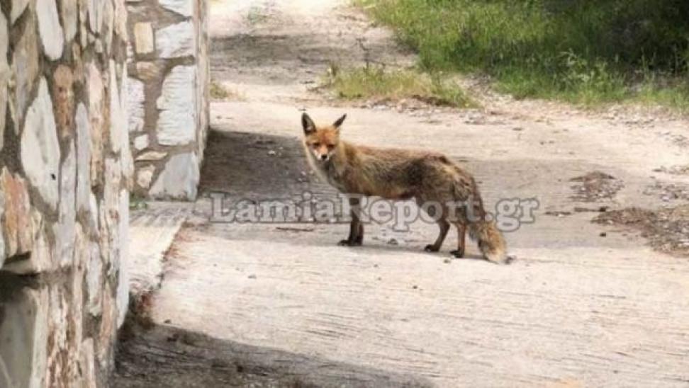 Φθιώτιδα: Αλεπού πηγαίνει καθημερινά για φαγητό σε εξοχικό στην Γλύφα (video)