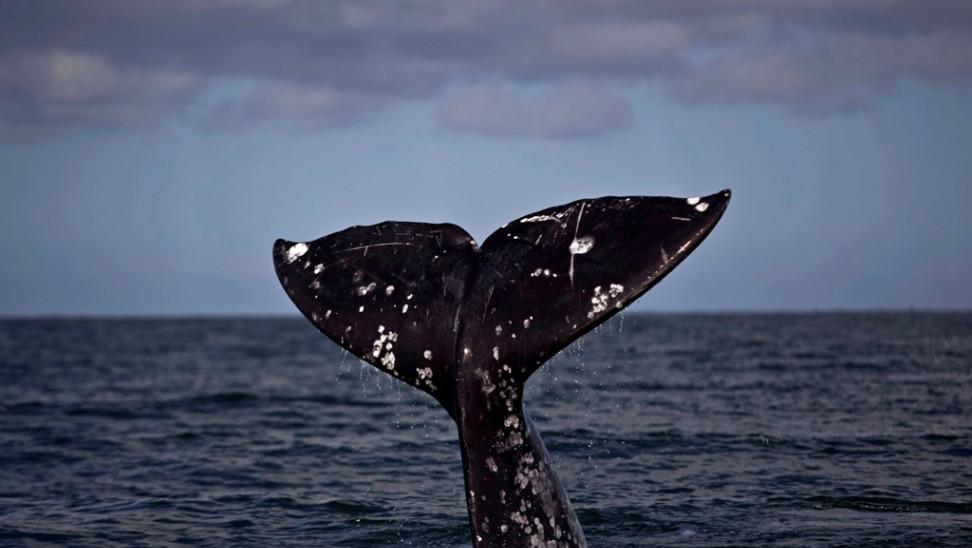 Μια γκρίζα φάλαινα θεάθηκε στις ακτές της Γαλλίας στη Μεσόγειο